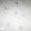 Racoon Tracks-Signs of Wild Life
