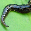 New Guinea flatworm