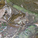Giant Barred Frog (Endangered)