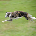 Borzoi Dog Wallpapers logo
