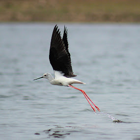 Black-winged stilt in flight  by Sanket Warudkar - Animals Birds