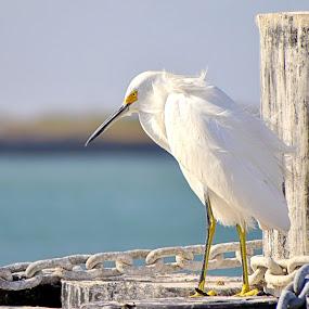 Egret at Corpus Christi Bay by Miranda Powers - Animals Birds