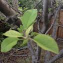 Some type of apple tree