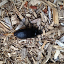 Broad necked root borer