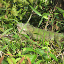 Green Iguana, Groene Leguaan