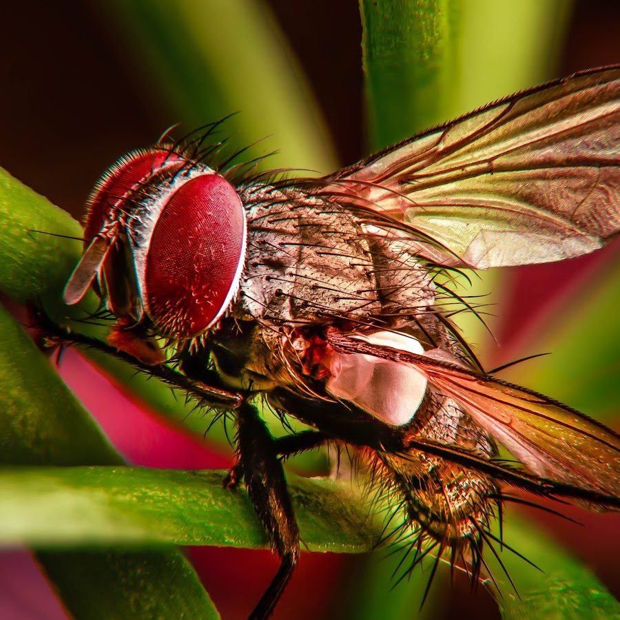 fly by Kimpul Kimpul - Animals Insects & Spiders ( love, nature, fly, beautiful, sting, insect,  )