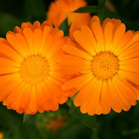 by Bharat Dudeja - Flowers Flowers in the Wild ( calendula, pot marigold, nature, marigold, yellow, flowers )