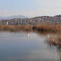 silver-pelican