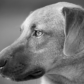 by Tiona Anglin Appel - Animals - Dogs Portraits ( dogs, black and white, portrait, , animal )