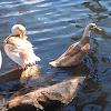 Mallard/domestic duck cross