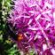 Large cuckoo bee