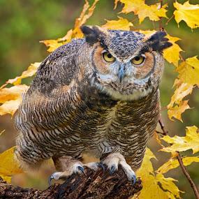 On Alert ... by Betty Arnold - Animals Birds ( bird, bird of prey, owl, great horned owl, animal,  )