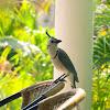White-throated magpie-jay/Straka modrobiela