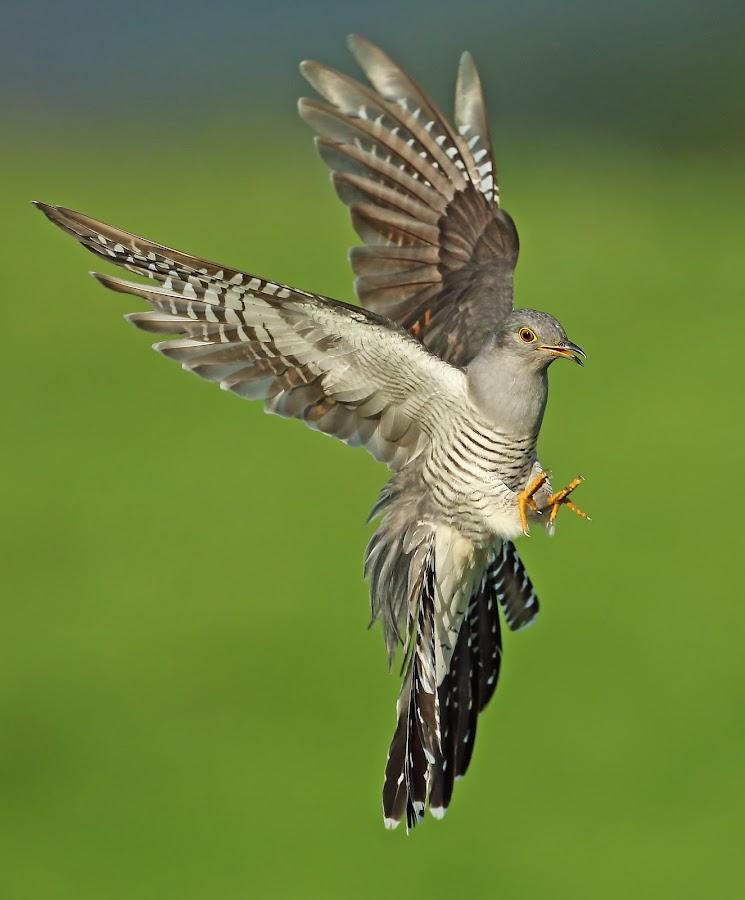 Cuckoo by Paul Mcmullen - Animals Birds ( cuckoo )