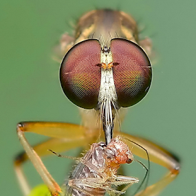 Lunch by Niney Azman - Animals Insects & Spiders ( rf )