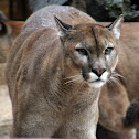 Cougar or Mountain Lion or Puma.