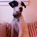 Pointer whippet mix
