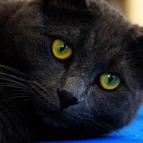 Doc by Peter Keast - Animals - Cats Portraits ( cat, pet, farm cat, domestic short hair, #GARYFONGPETS, #SHOWUSYOURPETS,  )