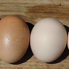 Domestic bird eggs