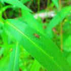 Hispine Beetle