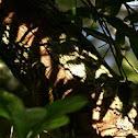 Picapauzinho-verde-carijo