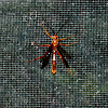 Some species of parasitic wasp