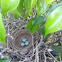 Northern mockingbird eggs