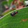 Red&Blue flower beetle
