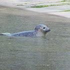 Common seal/Harbor seal