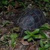Ryukyu Box Turtle