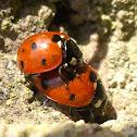 Mating Seven-spot ladybird