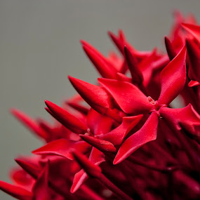 Red by Qamrul Hassan Shajal - Flowers Flower Arangements ( red, beautiful, flowers, garden )