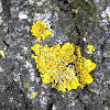 Common orange lichens
