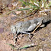Carolina Locust - Grasshopper