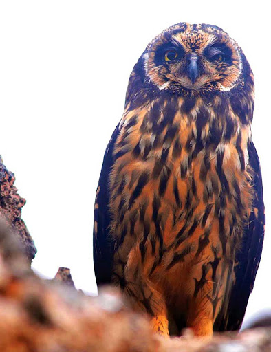 Galapagos_owl - An owl that's native to the Galapagos.