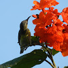 Purple Sunbird(Female)