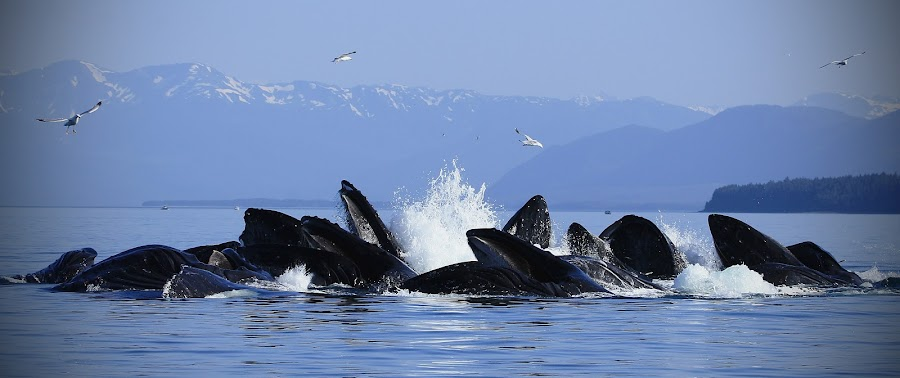 Bubble-net by Adam Taylor - Novices Only Wildlife ( bubblet net, humpback whales, feeding behavior, only in alaska )