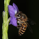 Asiatic honey bee