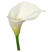 Calla Lily Live Wallpaper