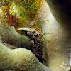 Eyespot Shrimp
