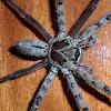 Brown huntsman spider(male)