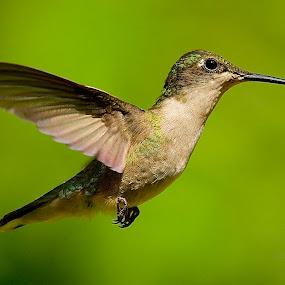 . by Roy Walter - Animals Birds ( flight, wild, animals, nature, hummiingbird, wings, feathers, birds,  )