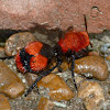 Red velvet ant (female)