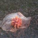 Urchin Gall Wasp