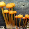 Mycena mushrooms