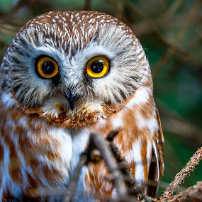 Saw-Wet Owl by Brad Bellisle - Animals Birds (  )