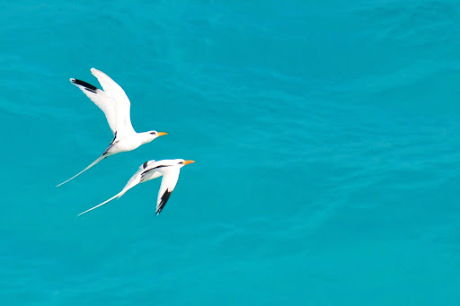 white-tailed-tropicbirds-Bermuda - Race ya! White-tailed tropicbirds, known locally as Bermuda longtails.