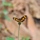 Elf Butterfly