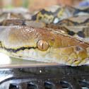 (Asiatic) reticulated python
