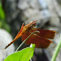 Forest Dragonfly